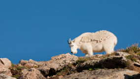 Mountian Goats Royalty Free Stock Image