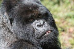 Mountian-Gorilla mit der Zunge heraus lizenzfreie stockfotografie