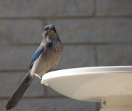 Woodhouse's Scrub Jay. Waiting for hand outs Stock Image