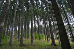 Mountin forest in August. Tall and straight trees in the forest Stock Photos