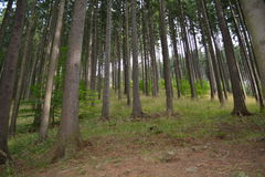 Mountin forest in August. Tall and straight trees in the forest Stock Images