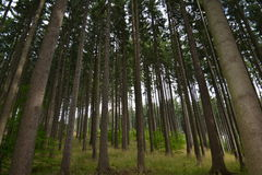 Mountin forest in August. Tall and straight trees in the forest Stock Image