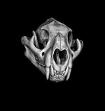 Mountin Lion. Portrait of a Cougar Skull Royalty Free Stock Photo