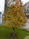 Mounting ash. Urbanscape: mountain ash tree in autumn season on green lawn near the building Stock Image