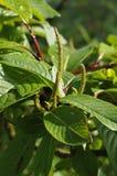 Moupinensis de Salix Image libre de droits