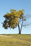 Mourir d'arbre d'acacia images libres de droits