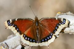 Free Mourning Cloak Butterfly Royalty Free Stock Photos - 193142458