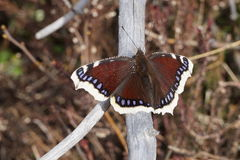 Mourning cloak butterfly Camberwell beauty butterfly on a dry branch. Mourning cloak butterfly Camberwell beauty butterfly on a branch, closeup Stock Image