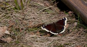 Mourning Cloak butterfly closeup Stock Photo