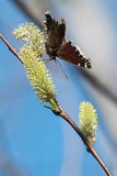 Mourning Cloak Butterfly Royalty Free Stock Photo