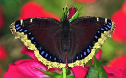 Mourning Cloak Butterfly (Nymphalis antiopa) Royalty Free Stock Images