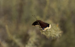 Mourning cloak butterfly Royalty Free Stock Images