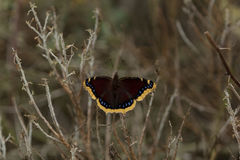Mourning cloak butterfly Royalty Free Stock Photography