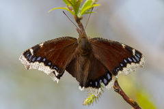 Mourning Cloak Butterfly Stock Image
