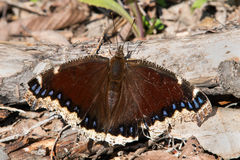 Mourning Cloak Butterfly. Perched on a dead branch lying on the ground. Tommy Thompson Park, Toronto, Ontario, Canada Stock Photography