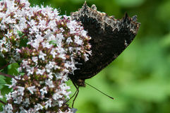 Mourning Cloak. Butterfly perched on flowers stock image