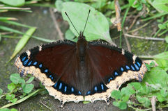 Mourning Cloak. Butterfly perched on the ground Stock Photos