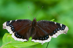 Mourning Cloak. Butterfly perched on a leaf Stock Image
