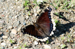 Mourning Cloak Butterfly Stock Photo