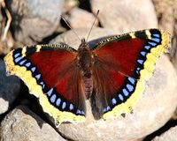 A Mourning Cloak butterfly rests on rocks.  Royalty Free Stock Images