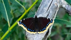 Mourning cloak, Camberwell Beauty or Nymphalis antiopa close-up, selective focus, shallow DOF.  royalty free stock photography