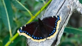 Free Mourning Cloak, Camberwell Beauty Or Nymphalis Antiopa Close-up, Selective Focus, Shallow DOF Stock Photo - 143683110
