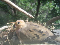 Mourning Dove. Side portrait of mourning dove on windowsill with trees in background Stock Photography