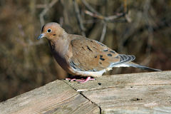 Mourning Dove. On Boardwalk Rail In Morning Sun Royalty Free Stock Photo