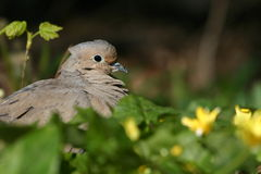 Mourning dove. (Zenaida macroura) in flowerbed, Central Park, New York royalty free stock photos