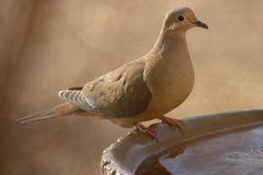 Free Mourning Dove Stock Photos - 1287353