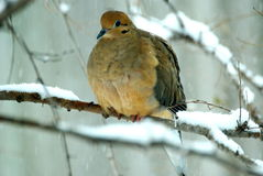 Mourning Dove. A cold mourning dove huddles against the winter snow Stock Photography
