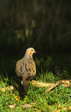 Mourning Dove Royalty Free Stock Photo