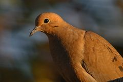 Mourning Dove. A mourning dove sitting on a fence at sunset stock photos