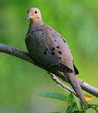 Mourning dove. In the evening light perched in a Missouri walnut tree Stock Photography
