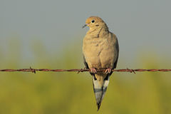 Free Mourning Dove Royalty Free Stock Image - 16534176