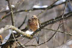 Free Mourning Dove Royalty Free Stock Photography - 18689597