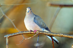 Mourning Dove. Sitting on a branch Royalty Free Stock Images