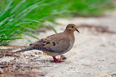 Mourning Dove. Sitting on the ground Stock Image