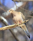Mourning Dove. A Mourning Dove perched on a branch Royalty Free Stock Photos
