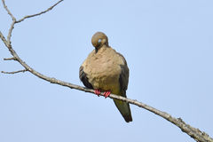 Mourning Dove. Sitting on a branch sleeping Royalty Free Stock Photos