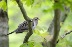 Free Mourning Dove Stock Images - 20074994