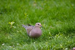 Mourning dove. Feeding in a grassy yard Stock Image