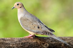 Free Mourning Dove Stock Images - 24285634