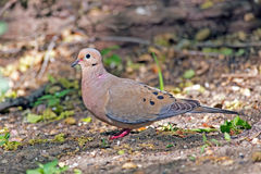 Mourning Dove. Standing on the ground Stock Photography