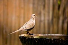 Mourning Dove Stock Image