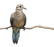 Mourning Dove. Profile of upright mourning dove resting on a branch, breast forward, head and beak turned to the right, white background Stock Image