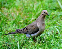 A Mourning Dove Stock Photography