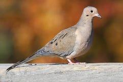 Free Mourning Dove Stock Photos - 3668383