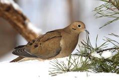 Free Mourning Dove Royalty Free Stock Photo - 50518745