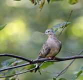 Mourning Dove. Perched on a tree branch Royalty Free Stock Photography